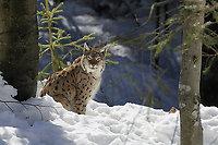 Luchs im Winter im Bayerischen Wald